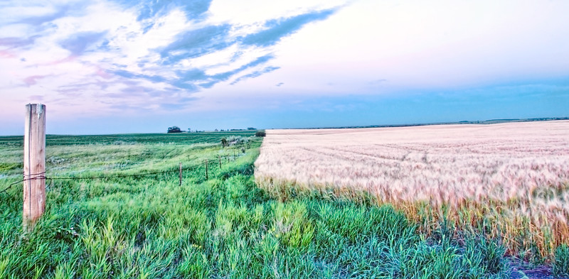 Mid-summer, a mature wheat field and grass pasture next to it.