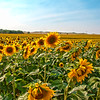 Sunflowers in the Grasslands of North Dakota