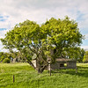 A scrub tree next to a Burleigh County abandoned farm home displays itself as a hart when seen from across the road.