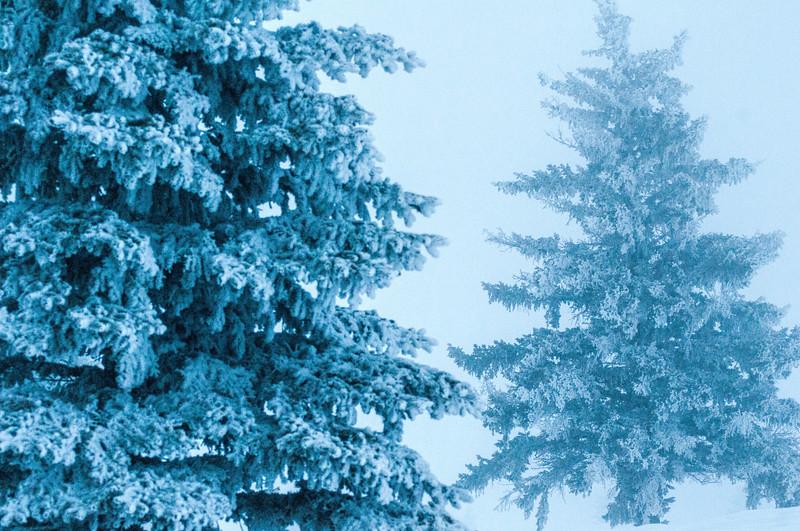 Blue evergreen trees in fog