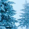 Blue evergreen trees in fog