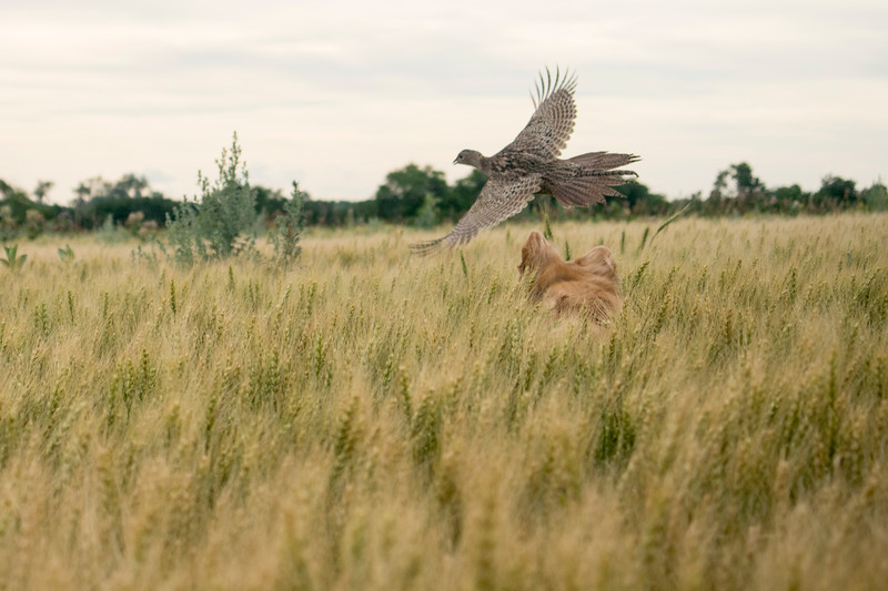 Pheasant hen gets up