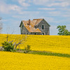 canola field, abandoned home
