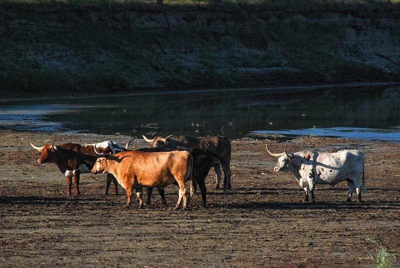 Four Long Horns Start Their Day Along the Little Missouri River in North Dakota