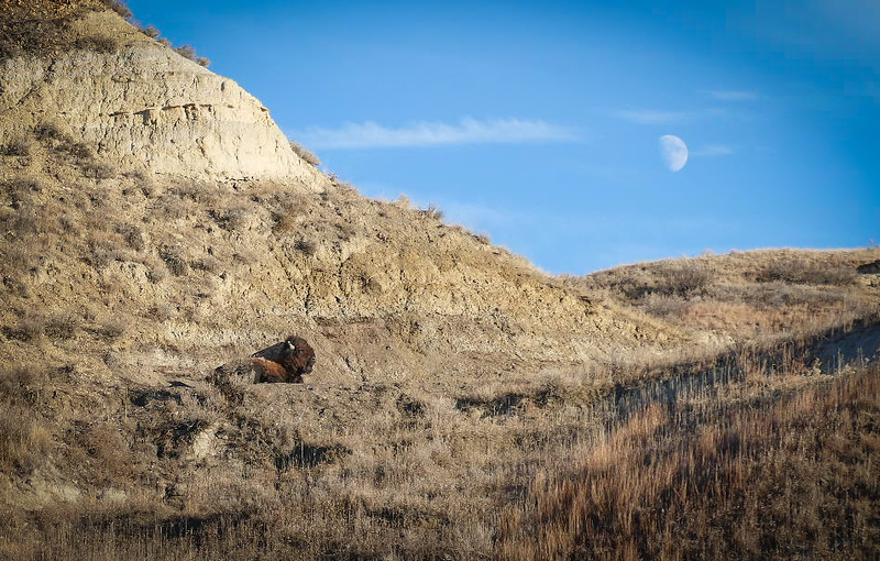 Bison Lounging Under the Moon