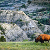 Majestic Bison Glows in the Golden Hour, Theodore Roosevelt National Park