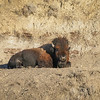Snoozing Bison