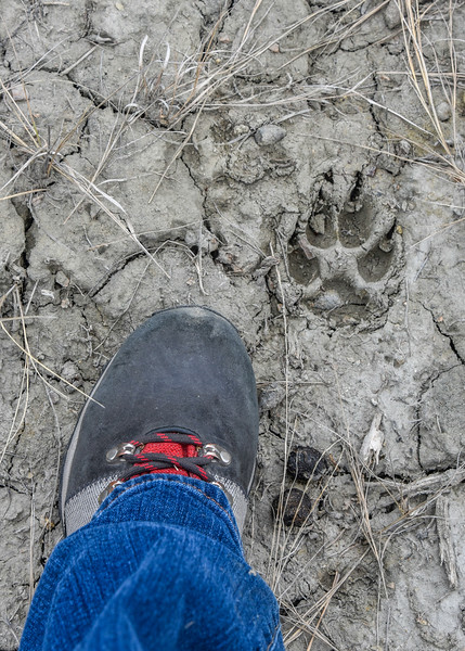"Keep a watch to see wildlife or their tracks such as this coyote track on Boicourt Trail.<br /> <br /> <br /> You can own this image. Click ""buy"" to see the options from wall prints to coffee mugs."