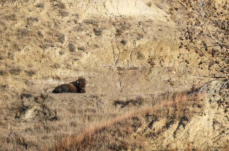 Bison Lounging on Ledge