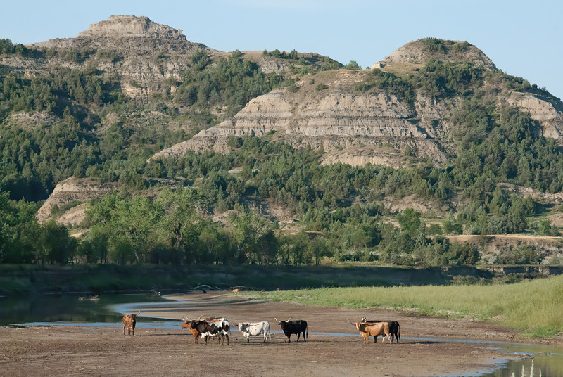 Long Horn Cattle in Theodore Roosevelt National Park After Watering on the Little Missouri River