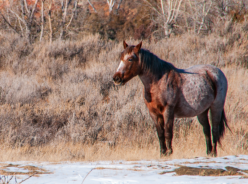 "One of the wild horses of the Theodore Roosevelt National Park. <br /> <br /> You can own this image.  Not sure what you like? Just click ""buy"" and you'll be taken to the catalog where you can browse wall decor and other products for Christmas gifts."