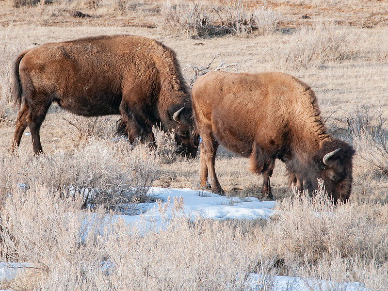 """Bison are extremely hardy and do well all winter in the Badlands of North Dakota.<br /> <br /> You can own this image.  Not sure what you like? Just click """"buy"""" and you'll be taken to the catalog where you can browse wall decor and other products for Christmas gifts."""