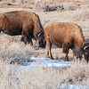 "Bison are extremely hardy and do well all winter in the Badlands of North Dakota.<br /> <br /> You can own this image.  Not sure what you like? Just click ""buy"" and you'll be taken to the catalog where you can browse wall decor and other products for Christmas gifts."