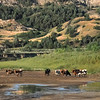 The Long Horn Cattle of Theodore Roosevelt National Park Water at the Little Missouri River