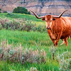 "Red longhorn, green grass and blue hills of the North Dakota Badlands.<br /> <br /> You can own this image as wall decor or other quality products from leading photo labs. Just click ""buy."""