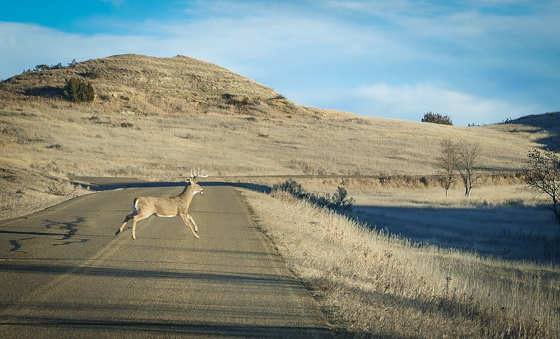Leaping Deer at Theodore Roosevelt National Park
