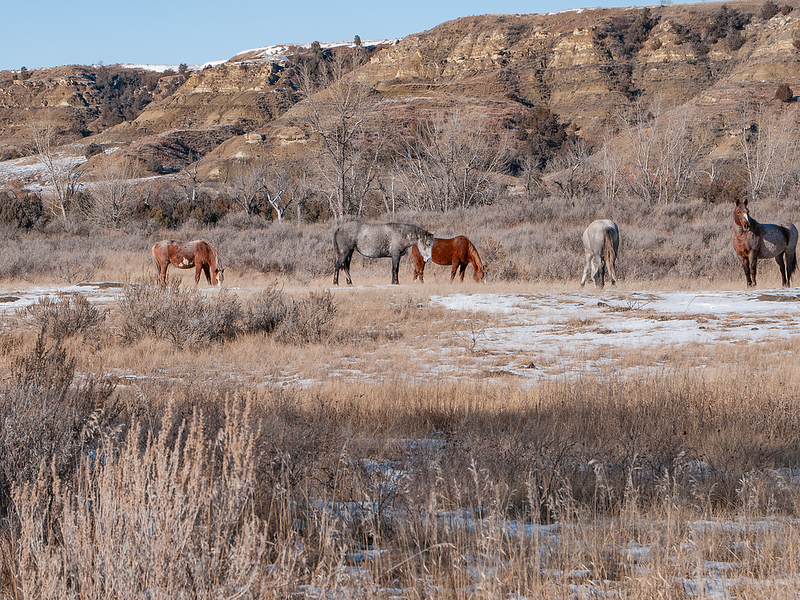 "A band of wild horses graze in a canyon of the Theodore Roosevelt National Park South Unit.   You can own this image.  Not sure what you like? Just click ""buy"" and you'll be taken to the catalog where you can browse wall decor and other products for Christmas gifts."