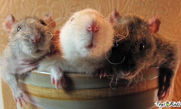 "Three Rats In a Pot, from Kelsey of  Topi Rats (all rights reserved to Topi Rats). ""Here are Pistachio, Q-Tip, and Chestnut. Pistachio and Chestnut are double rex agoutis, and Q-Tip is a  rex siamese dumbo. These brothers are so relaxed you  would swear they were fluffy stuffed animals. They LOVE to  give kisses and chase my hand while wrestling it at the  same time at the moments when they finally catch it. :)"""