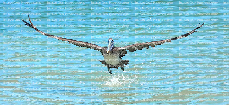 Front view of a brown pelican as it takes off from the Gulf of Mexico in search of food, on Fort Myers Beach, Florida, USA.