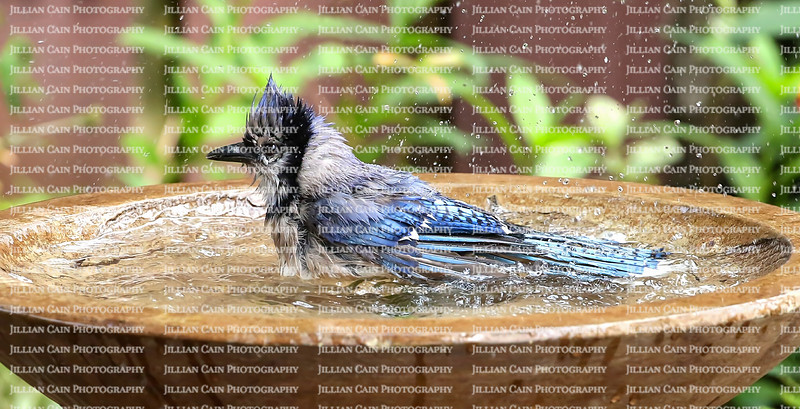 Splish splast bluejay taking a bath in a backyard birdbath.