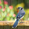 Beautiful blue jay bird looking around before he takes a drink from a fountain.  The blue jay is native to North America and is one of the loudest and most colorful birds in back yards.