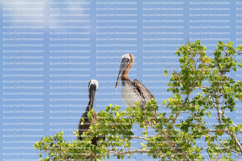 Two brown Pelicans sitting on the top of a tree on a beautiful day in Florida