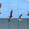 Five black skimmers flying in a row, high above the Gulf of Mexico.