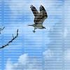 Beautiful osprey takes flight on Fort Myers Beach, Florida