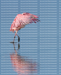 pink roseate spoonbill
