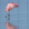 pink roseate spoonbill