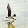 Black Skimmer flies low plowing the water, snapping it's bill shut when it makes contact with a fish.