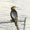 Anhinga bird perched on a chain link fence