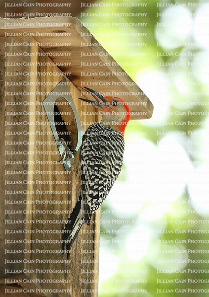 Male red bellied woodpecker with tongue extended lands on his nesting box as he cares for his newly hatched chicks.