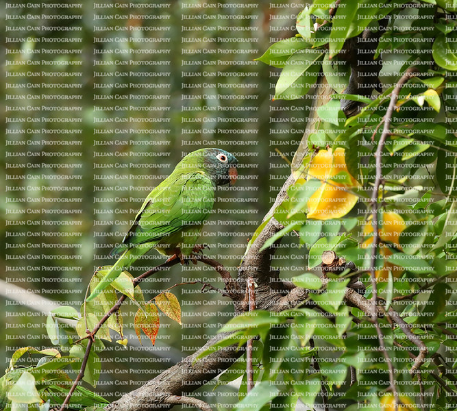 Blue Crowned Parakeet living free in Florida finds a carambola tree and feasts on fruit.