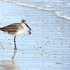 Willet bird getting ready to have crab for dinner.