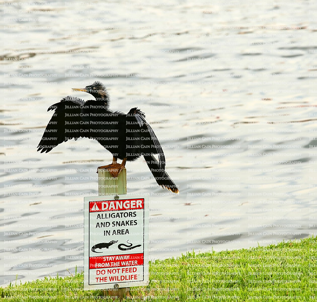"""""""Danger, Alligators and Snakes in area"""" sign with an Anhinga bird with outstretched wings perched on the signpost and directly in front of a lake."""