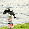 """Danger, Alligators and Snakes in area"" sign with an Anhinga bird with outstretched wings perched on the signpost and directly in front of a lake."
