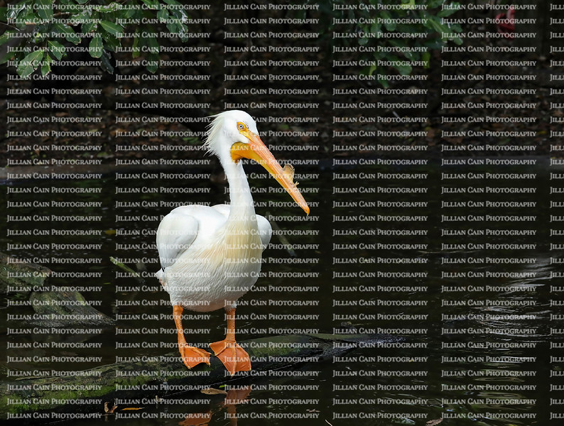 American white pelican with breeding horn on his upper bill looks around at the water's edge.