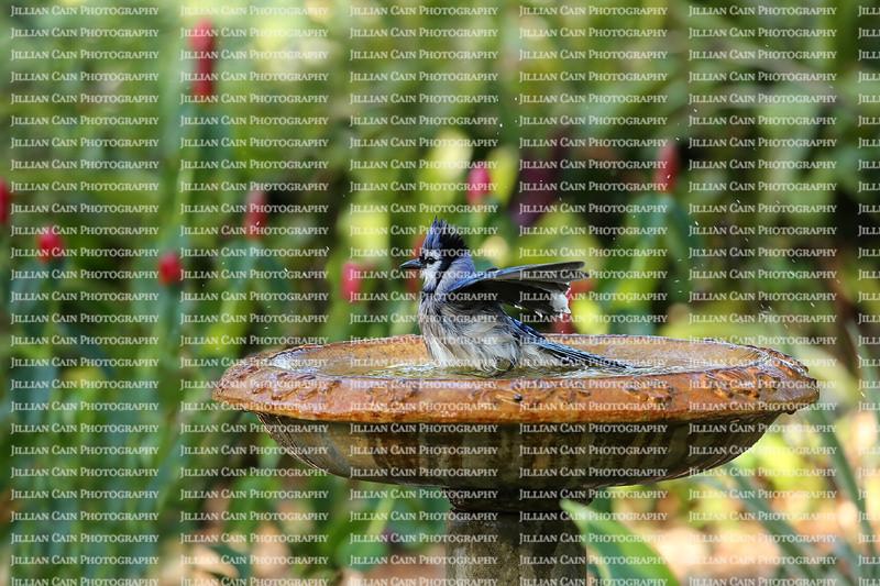 Bluejay getting all it's feathers wet as it baths in a bird bath