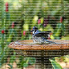 Bluejay getting all it's feathers wet as it baths in a bird bath
