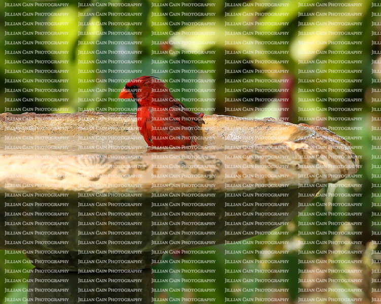 Male Northern Cardinal sits in a bird bath in a tropical garden