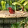 Male Northern Cardinal sits in a bird bath in a tropical garden