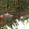 Parent and juvenile Red Bellied Woodpeckers hanging upside down look for insects under a live oak limb.