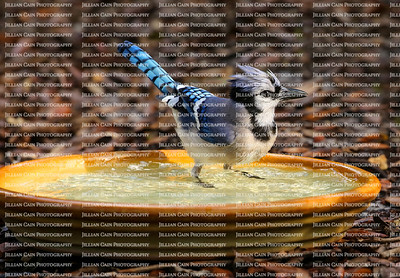 Perky blue jay getting wet and standing in a backyard birdbath.