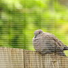 Puffed out Ring Neck Dove also known as a cape turtle and half collared dove resting on a fence.