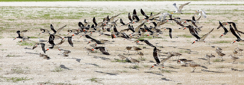 Black Skimmers take flight at Little Estero Critical Wildlife Area on Fort Myers Beach.