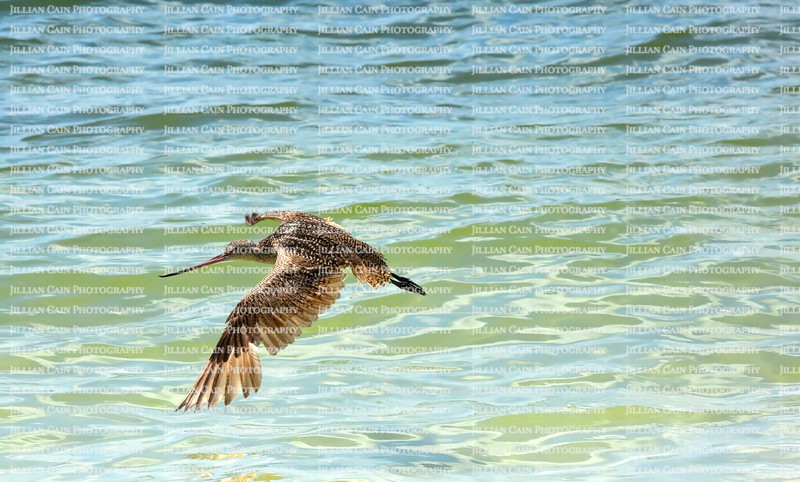 Marbled Godwit spread its wings as it flies over the Gulf of Mexico on Estero Island, Florida, USA.