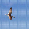 Black skimmer bird flying high