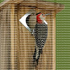 Portrait of the male and female red bellied woodpecker parents looking out from their chicks' nesting box.