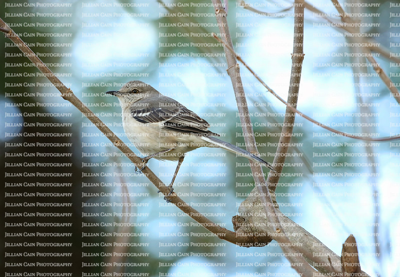 Beautiful northern mocking bird perched on a branch with twilight blue skies in the background